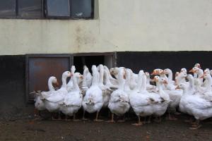 Andrzej Klonecki produkuje przede wszystkim pisklęta. Stado gęsi matek liczy łącznie 500 sztuk.