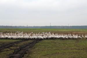 Gęsi tuczone na mięso wypasane są również na pastwiskach.