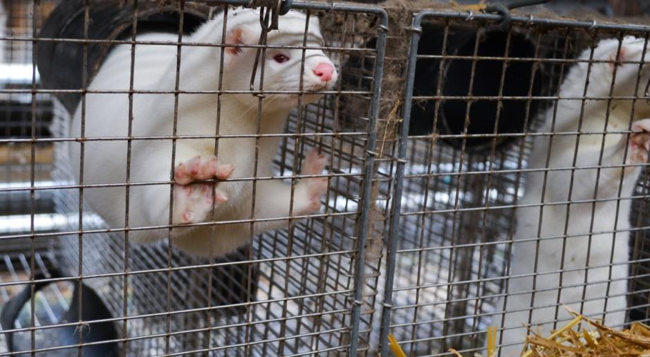 Namawiają na głosowanie ws. zakazu hodowli zwierząt na futra