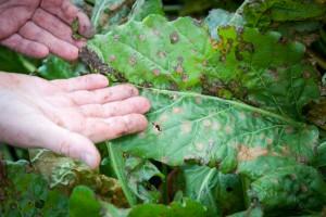 Ochrona buraka cukrowego przed chorobami liści