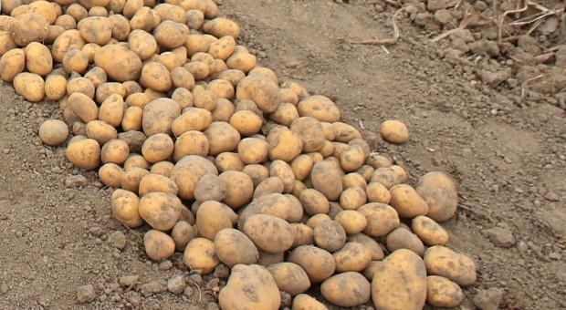Plon ziemniaka – odmiany bardzo wczesne