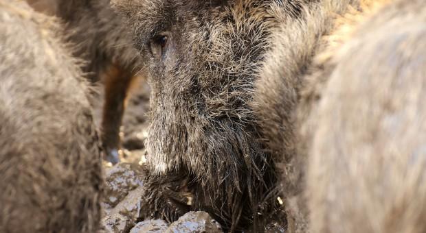 PO: Rząd bezradny ws. afrykańskiego pomoru świń; apelujemy o dymisję ministra Jurgiela