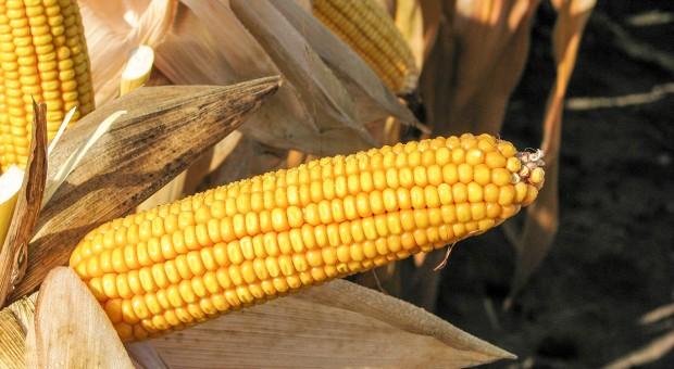Jak czytać katalogi odmianowe kukurydzy?