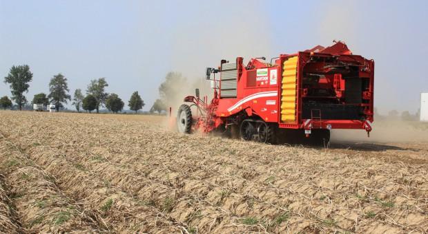 Plon ziemniaka – odmiany wczesne