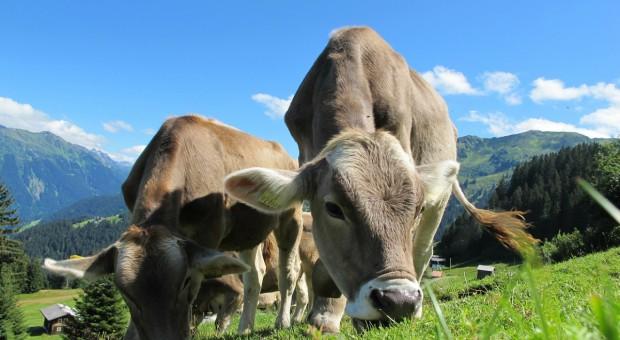 Austria: Wzrosła wydajność mleczna krów