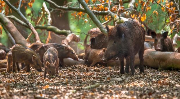 W związku z ASF - bariery zapachowe odstraszające dziki