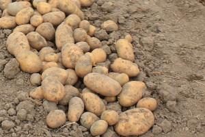 Plon ziemniaka – odmiany średniowczesne