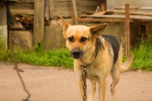 A. Widera-Jakubiak o trzymaniu psów na uwięzi: mamy prawo, które trudno wyegzekwować