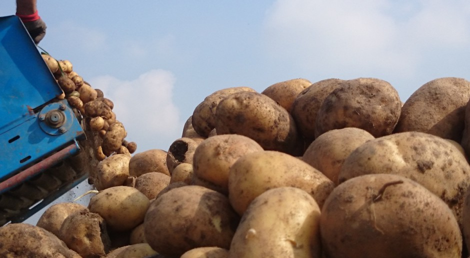 Przeciętny plon ziemniaka skrobiowego