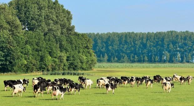 Holandia: Spada pogłowie krów mlecznych