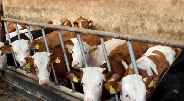 Ceny bydła nieco spadły