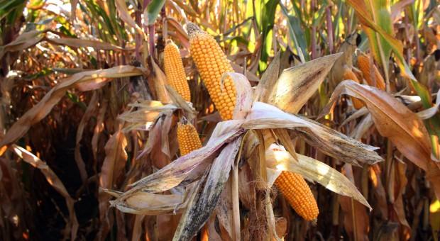 Plon kukurydzy na ziarno – odmiany wczesne