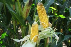 Kukurydza nasienna w liczbach