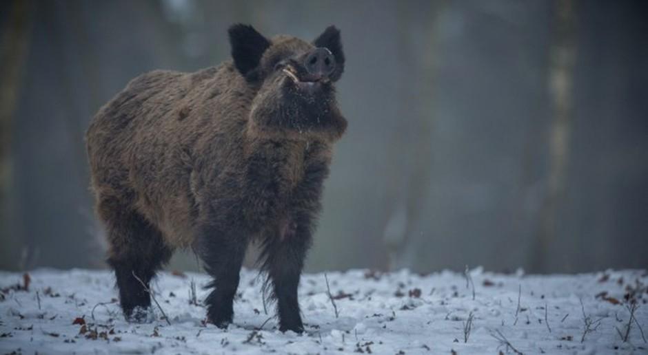 Na Mazowszu 100 dzików do odstrzału w Kampinosie