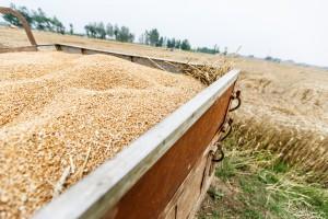 Umiarkowany wzrost ceny pszenicy