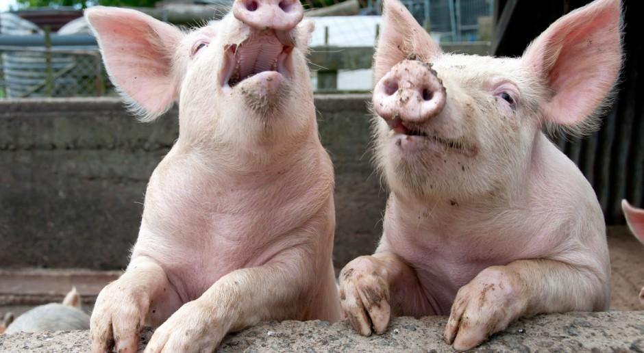 UE: Sezonowy spadek cen świń rzeźnych