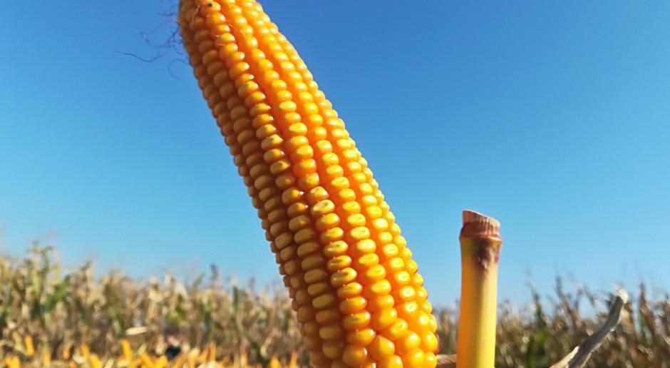 Plon kukurydzy na ziarno – odmiany średniowczesne i średniopóźne
