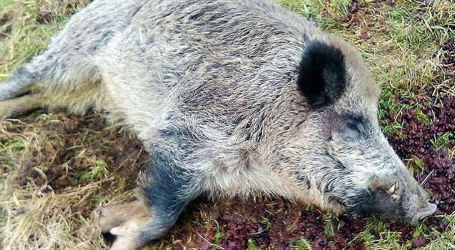 """Rolnik znalazł za stodołą dzika. Odyniec nie miał ASF, ale upił się jak """"świnia"""""""