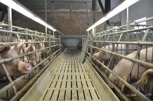 Ile światła potrzebują świnie?