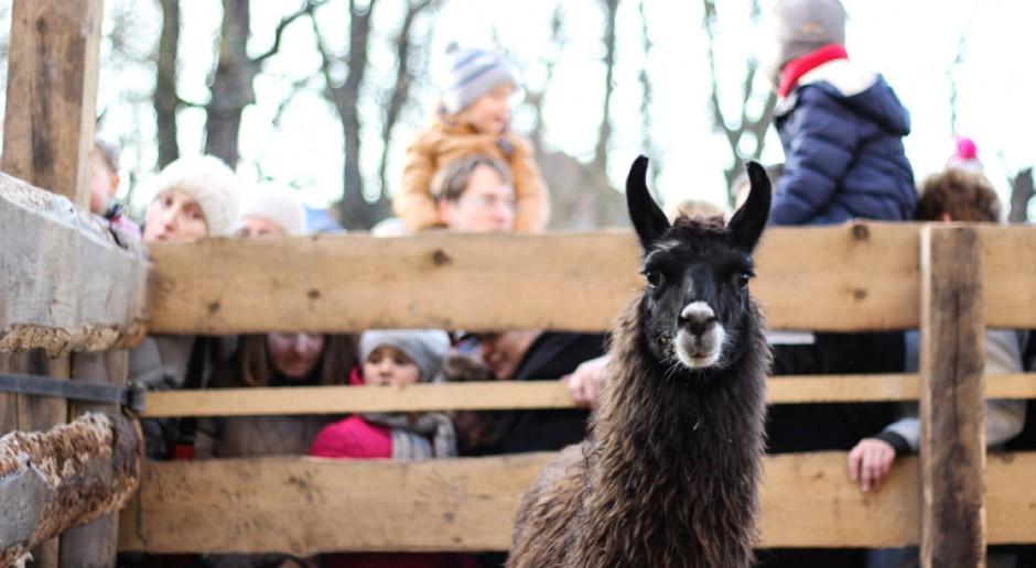 """Lamy, owce, króliki – od 25 lat w """"żywej szopce"""" franciszkanów w Krakowie"""