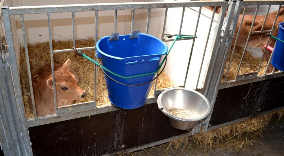 Mleko odpadowe w żywieniu cieląt