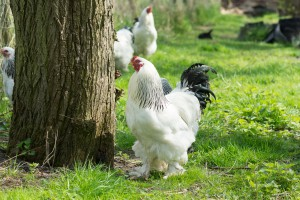 Czy widzieliście kiedykolwiek większego kurczaka?
