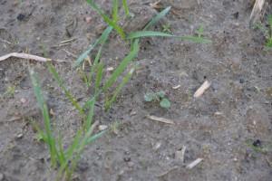 Pixxaro - herbicyd z nową substancją czynną