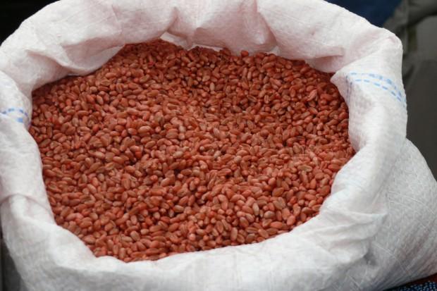Czy można zaprawiony jesienią materiał siewny zbóż użyć w następnym sezonie?