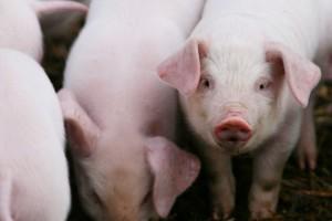 UE: Ceny świń rzeźnych prawie bez ruchów