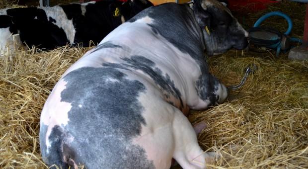 W skupach bydła wyczekiwanie