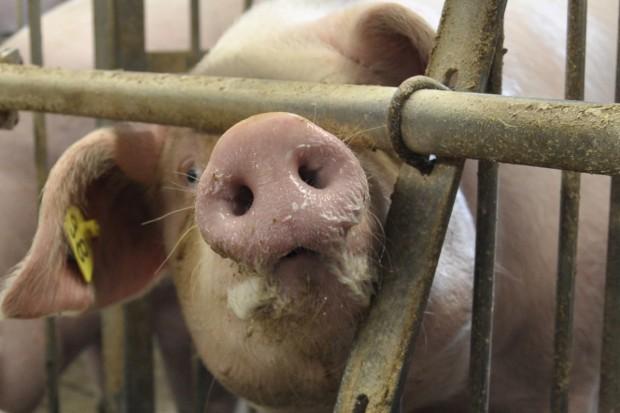 ASF u świń w powiecie siedleckim