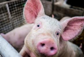 Potwierdzono ASF u świń w powiecie siedleckim