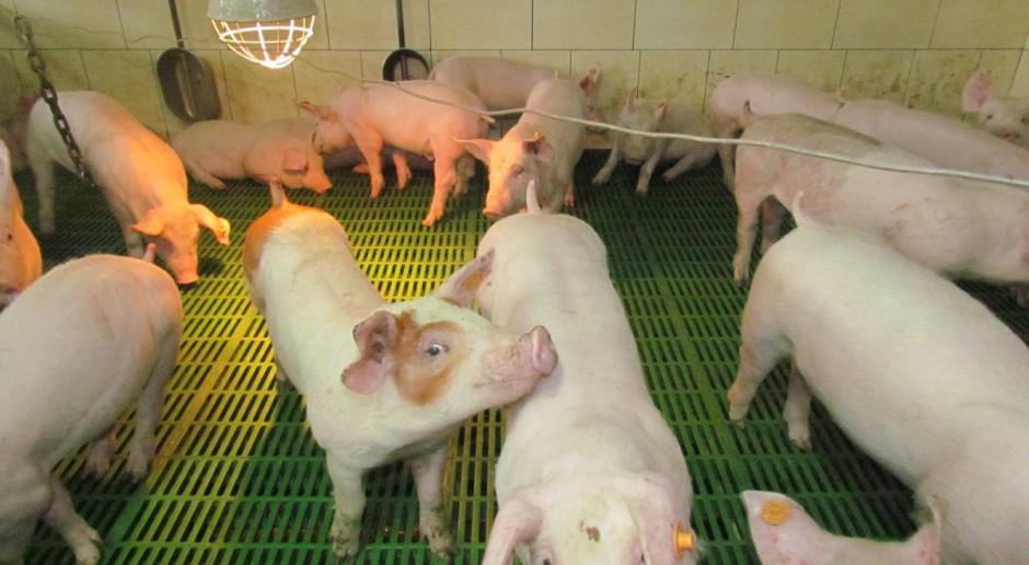 W ciągu 3 lat liczba gospodarstw utrzymujących świnie spadła o 40 proc.