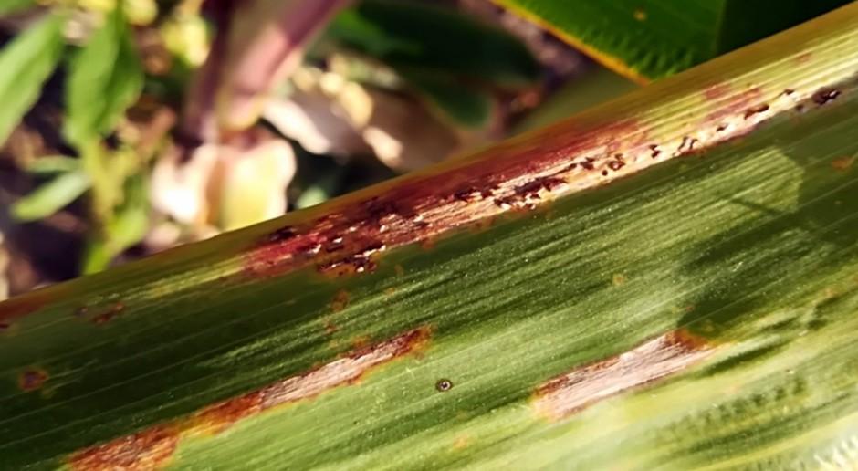 Monitoring z 2017 r. chorób kukurydzy na Podkarpaciu