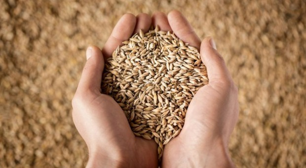 Spadek cen zbóż w skupach
