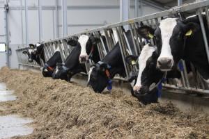 Sygnały nieprawidłowego żywienia krów