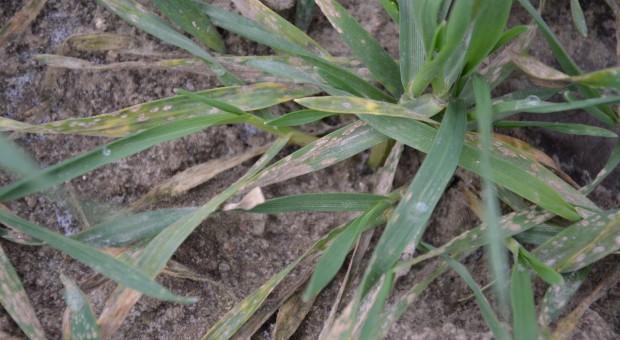 Mączniak prawdziwy zbóż i traw zjada pszenicę