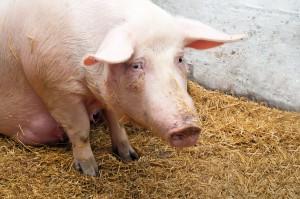 KE zatwierdziła program pomocy dla gospodarstw w związku z ASF