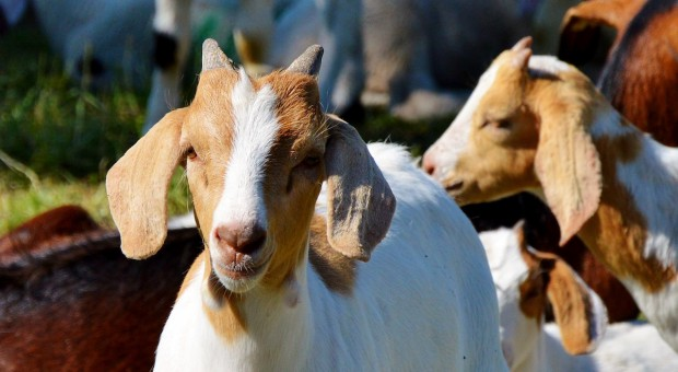 Portugalia: Rząd uruchomi hodowle kóz w celu zapobiegania pożarom