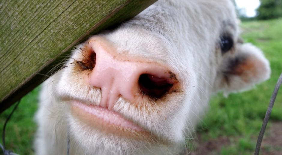 """Rolnik odpowie za """"krowi placek"""""""