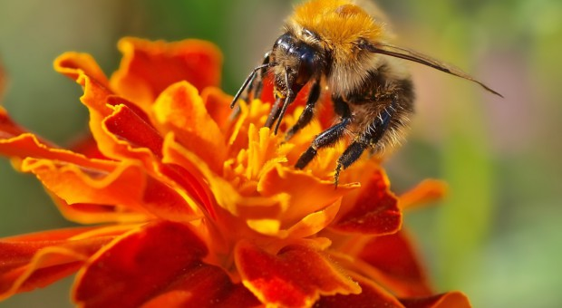 Komisja PE: Musimy bardziej chronić populację pszczół w UE