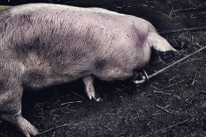 Świnia w zdarzeniu nie ucierpiała.