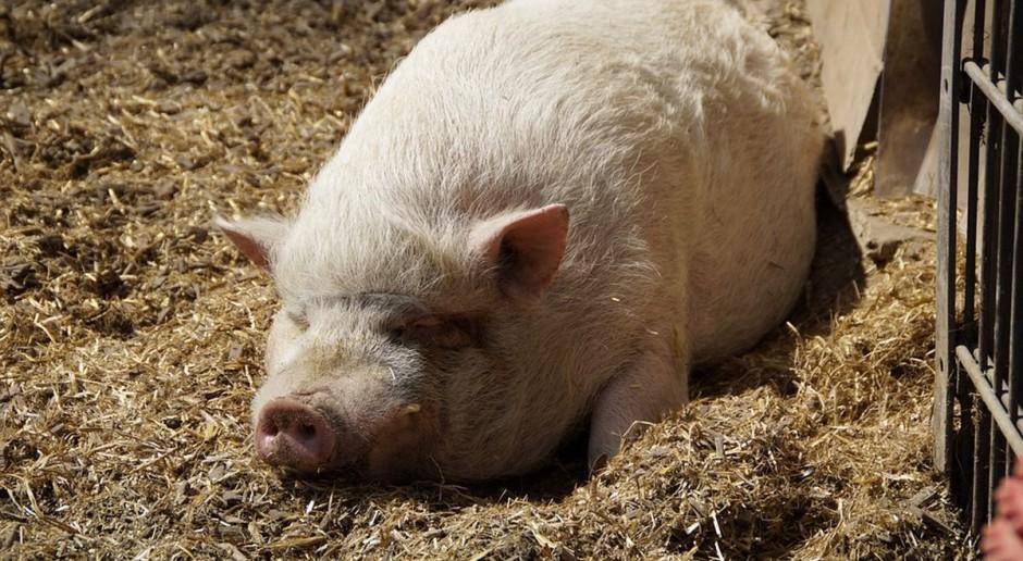 Jaka pomoc za utratę dochodu za sprzedane świnie od lipca 2017 r.?