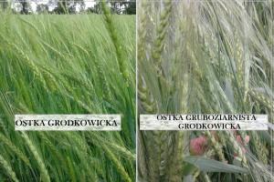 Stare, regionalne odmiany pszenicy ozimej na nowo w Krajowym Rejestrze Odmian