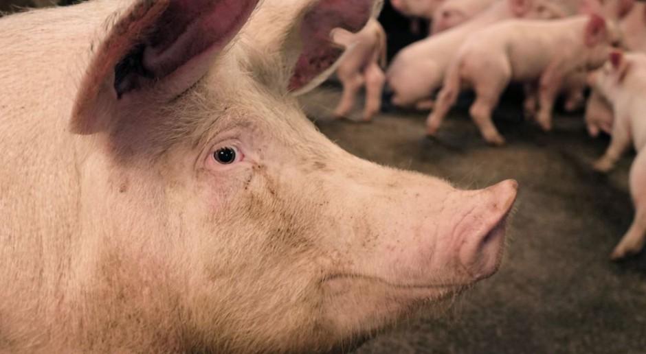 Największy rosyjski producent mięsa wybiera genetykę Topigs Norsvin