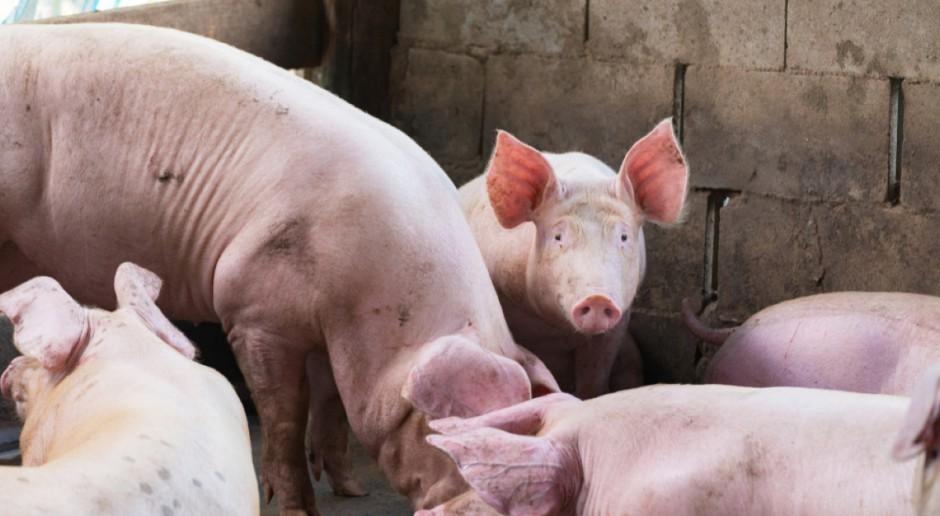 Podlaskie: W 2017 z powodu ASF spadła liczba świń