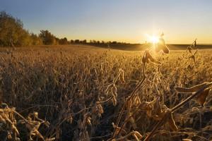 MRiRW planuje przedłużenie okresu stosowania pasz GMO