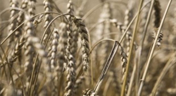 Korekta notowań pszenicy