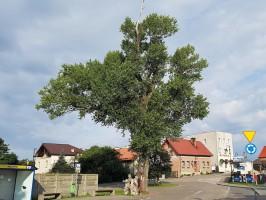 Topola Helena walczy o tytuł Europejskiego Drzewa Roku