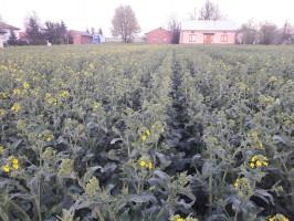 Ostatecznym i najważniejszym testem maszyny są efekty uprawy, a te rolnik ocenia jako bardzo dobre, fot. P. Pietrzak